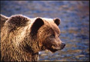 Tundra grizzly from the Yukon (courtesy Government of Yukon Territory). These bears also occur across the north slope of Alaska and are the bears that occasionally hybridize with polar bears, as explained here.