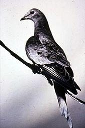 170px-Martha_last_passenger_pigeon_1914