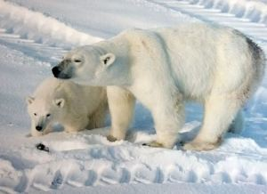 Figure 1. Polar bear female with cub, 2009, Churchill, Western Hudson Bay. Wikipedia.