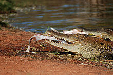 220px-Crocodile_in_Broome_Western_Australia