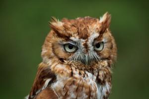 Screach owl 2