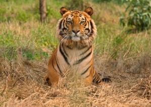 india-tiger[1]