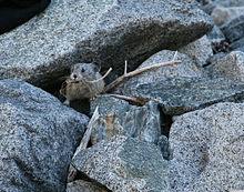 220px-ochotona_princeps_pika_haying_in_rocks
