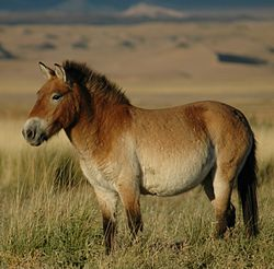250px-Przewalskis_horse_02