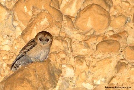 image_2432e-desert-tawny-owl-strix-hadorami