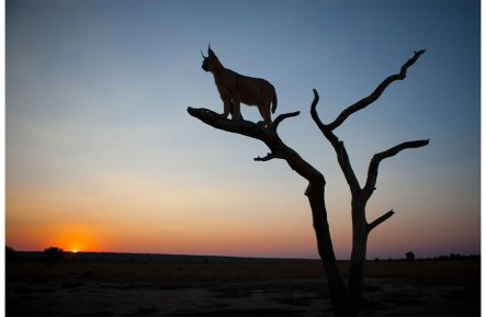 12-namibia-tree-caracal-silloutte-47151_2_232181.jpg__1072x0_q85_subject_location-454,158_upscale