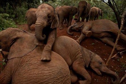 A-Kenyan-elephant-orphana-001