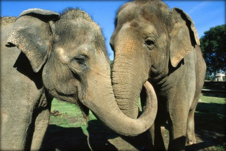asian-elephants-comfort-01_76709_990x742